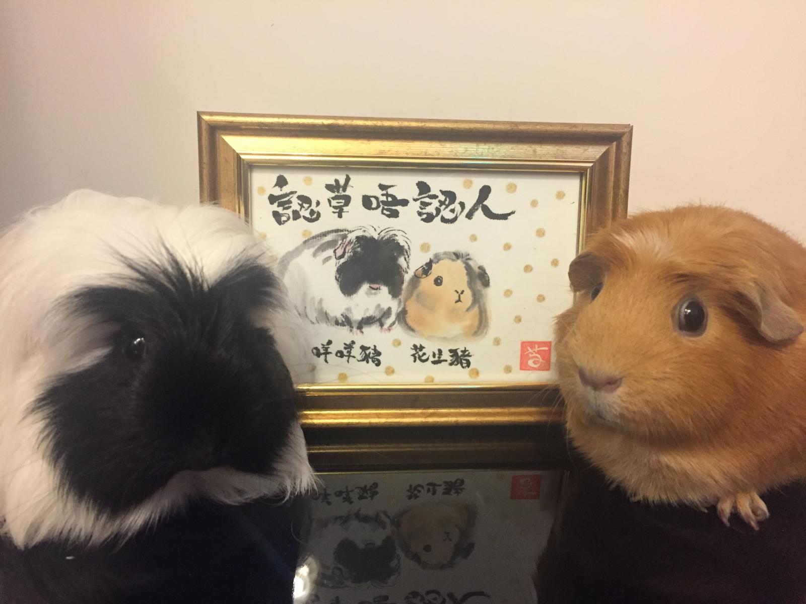 Guinea Pigs in Ink